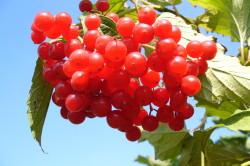 Польза ягод калины при генитальном герпесе