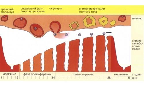 Схема женского цикла