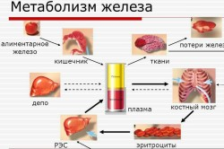 Метаболизм железа в организме