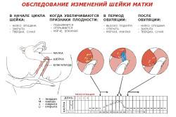 Изменение шейки матки при овуляции