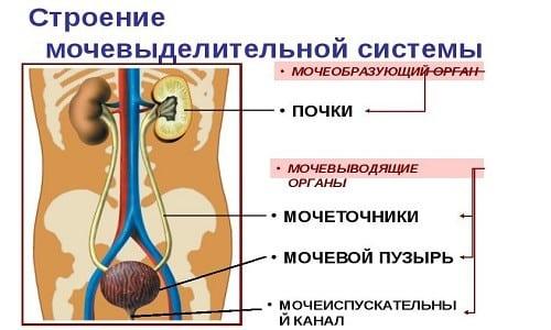 Цистит часто развивается у ребенка при наличии у него предрасположенности к заболеваниям мочевого пузыря