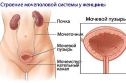 Строение мочеполовой системы женщины